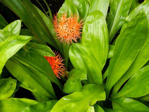 Scadoxus cinnabarinus