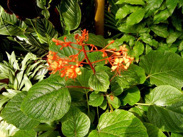Clerodendrum Speciosissimum