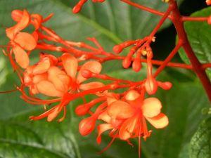 Clerodendrum Speciosissimum © onlineflowergarden.com