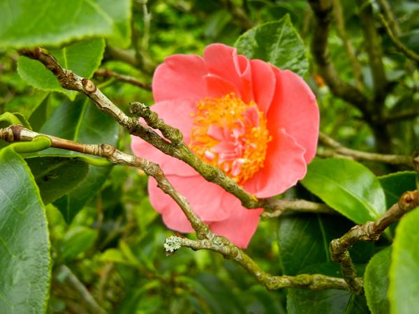 Camellia japonica 'Mrs. Swan'