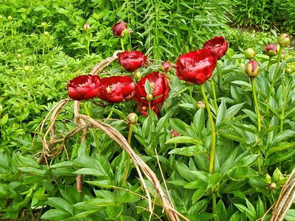 Paeonia broteri 'Buckeye Belle'