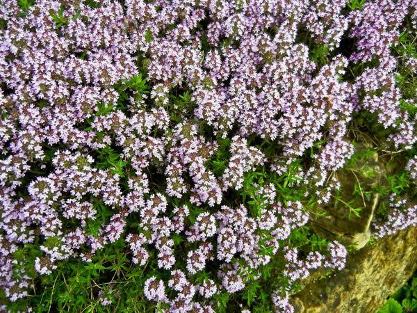Thymus marschallianus
