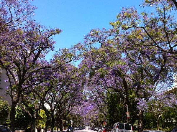 Jacaranda trees in Los Angeles