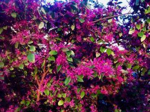 檵木; pinyi Loropetalum chinense
