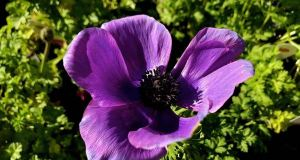 Anemone coronaria 'Mona Lisa Deep Blue'