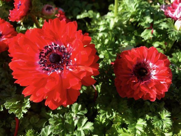 Anemone 'Harmony Double Scarlet'