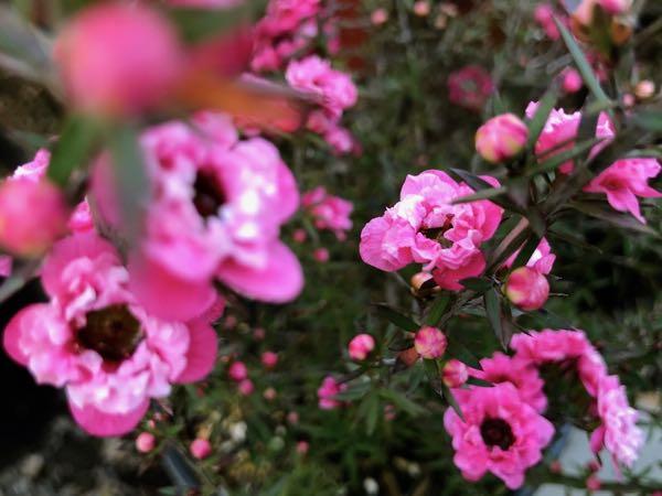 Leptospermum scoparium 'Gaiety Girl'