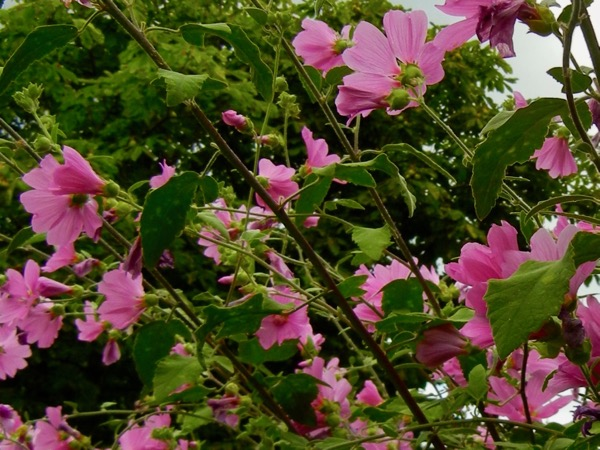 Lavatera clementii 'Bredon Springs'