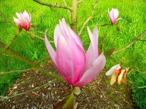 Magnolia x soulangeana 'Spectrum'
