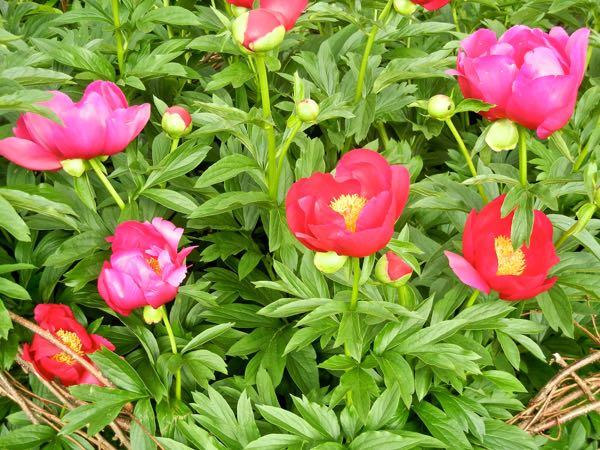 Paeonia 'Scarlet O'Hara'