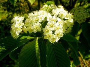 Sorbus aronioides