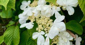 Viburnumplicatumvar.tomentosum