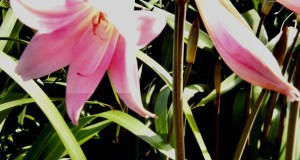 Amaryllis belladonna 'Purpurea Major'