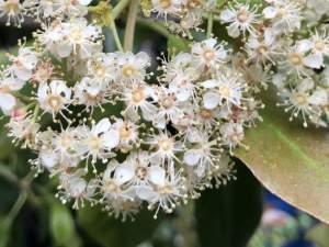 Japanese photinia