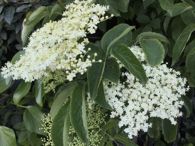 Sambucus Nigra Flowers