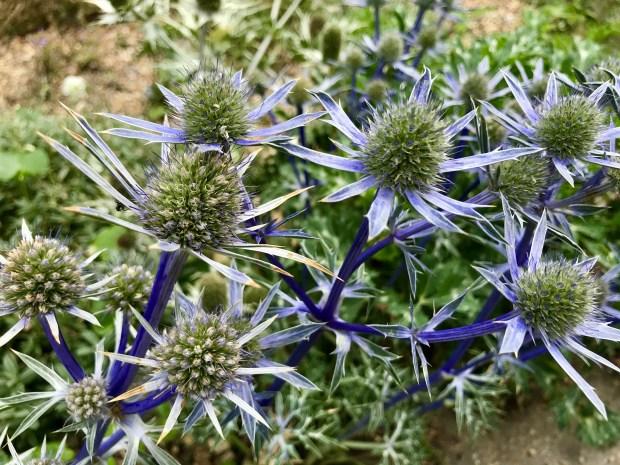 Eryngium bourgatii'Picos Blue'