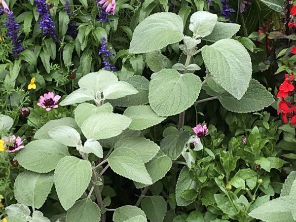 Plectranthus argentatus or Coleus argentatus