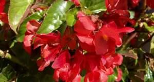 Begonia 'Dragon Wing® Red'