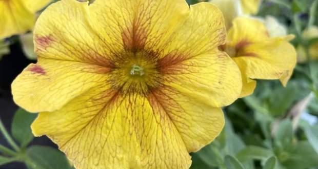 Petunia SuperCal® Premium 'Caramel Yellow'