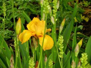 Iris Sangreal