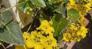 Stigmaphyllon ciliatum - Orchid Vine, Brazilian Golden Vine