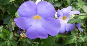 Thunbergia erecta © onlineflowergarden.com