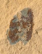 Soft-bodied Arthropod