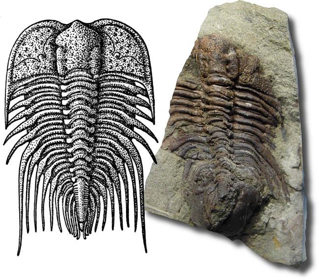 Paracybeloides