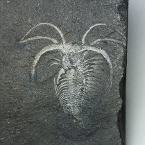 Burgess Shale - Marrella splendens