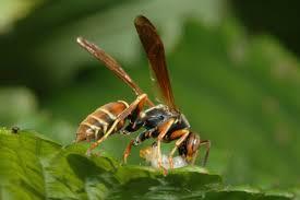 Wasps attack caterpillar