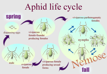 Aphid lifestyle