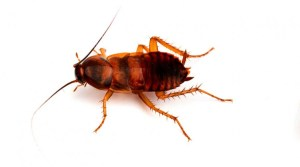 Brown banded cockroach. S: powerx