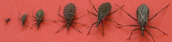 kissing-bug-life-cycle