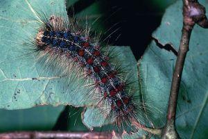 Gypsy bug/moth caterpillar