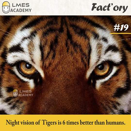 #19 Night vision of Tigers is 6 times better than humans.