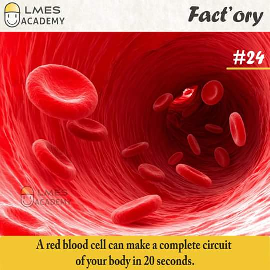 #24 A red blood cell can make a complete circuit of your body in 20 seconds.