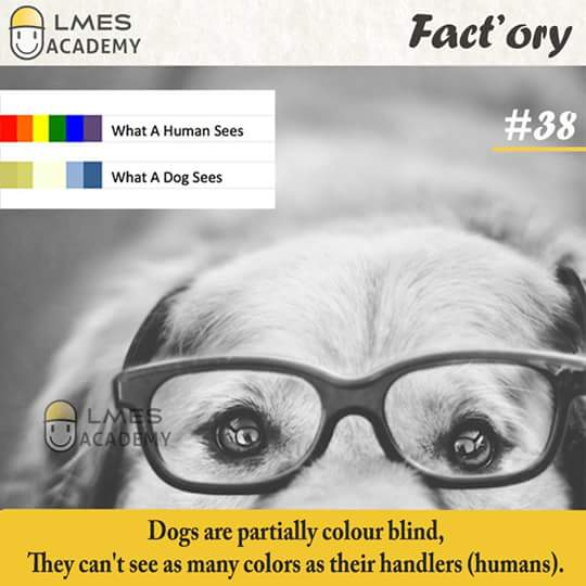 #38 Dogs are partially color blind. They can't see as many colors as their handlers (humans).