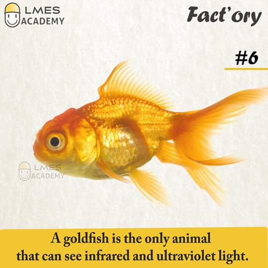 #6 A goldfish is the only animal that can see infrared and ultraviolet light