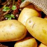 information on about potato in Hindi