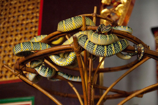 Penang Snake Temple, Vipers for photography