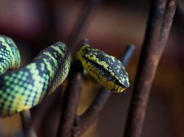 Penang Snake Temple, the Vipers