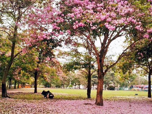 Penang Sakura Blossom Farlim