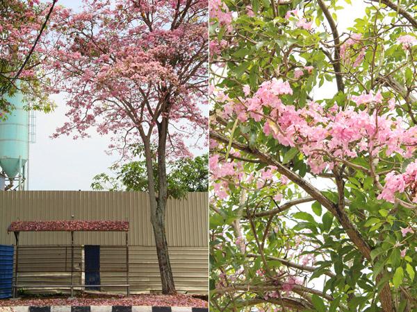 Penang Sakura Blossom Bayan Baru
