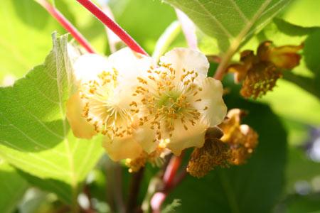 kiwifruitflower.jpg