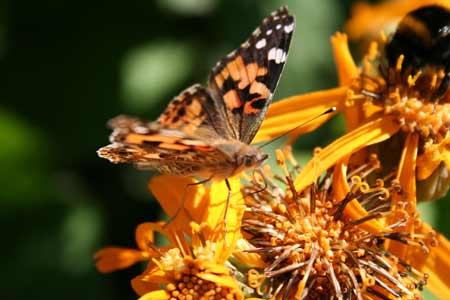 Vlinder in Seigneurie tuin op Guernsey