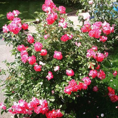 #Girlguiding centenary rose flowering well this year.