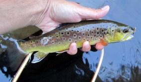 Au Sable River Brown Trout