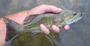 A little Grand River smallmouth bass.