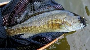 Grand River Smallmouth Bass