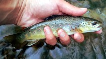 Just an average brown trout.
